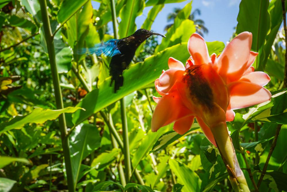 hummingbird st lucia-125