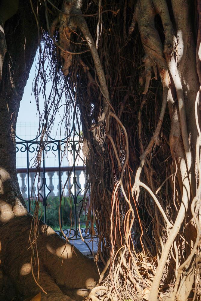 parque del drago icod de los vinos-4
